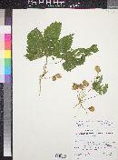 Humulus lupulus var. neomexicanus image