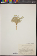 Image of Morettia parviflora
