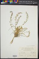 Image of Astragalus alexandrinus