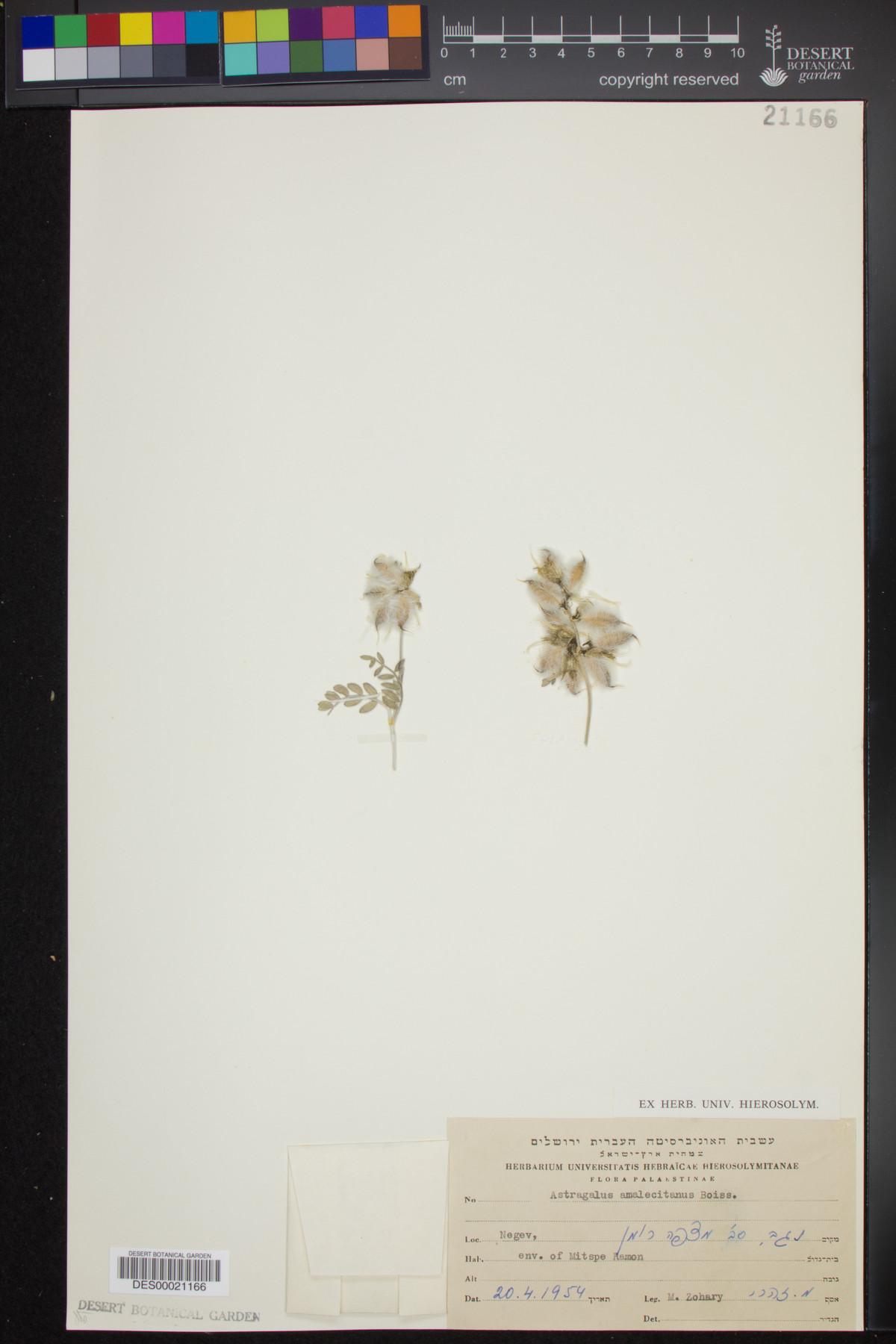 Astragalus amalecitanus image