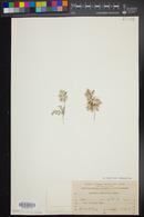 Image of Astragalus amalecitanus