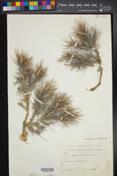 Image of Astragalus bethlehemiticus