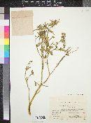 Image of Euphorbia retusa