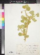 Image of Abutilon pannosum