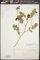 Image of Cassia italica