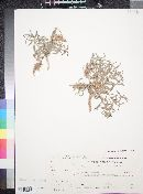 Image of Glossonema boveanum