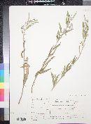 Image of Gomphocarpus sinaicus
