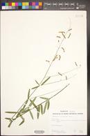 Desmodium arizonicum image