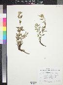 Monardella glauca image
