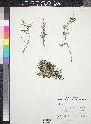 Apacheria chiricahuensis image