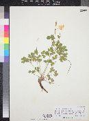 Aquilegia micrantha image