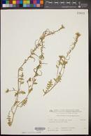 Image of Enarthrocarpus strangulatus