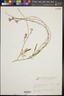 Image of Erucaria rostrata