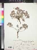 Image of Euphorbia obovata