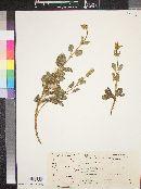 Image of Salvia multicaulis