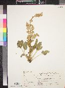Image of Salvia palaestina