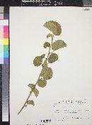 Image of Grewia villosa