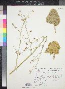 Boerhavia annulata image