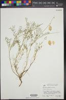 Image of Astragalus moranii