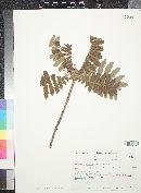 Image of Actinocheita filicina