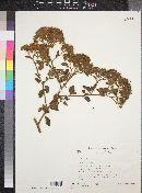 Salpianthus arenarius image