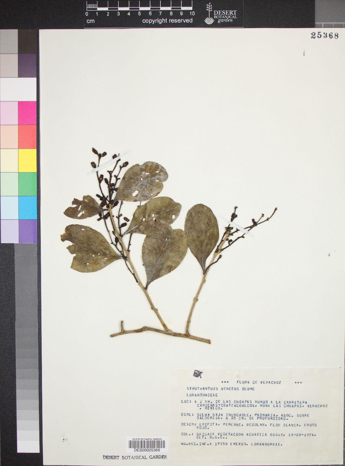 Struthanthus venetus image