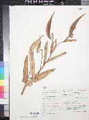 Asclepias glaucescens image