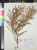 Image of Acacia harveyi