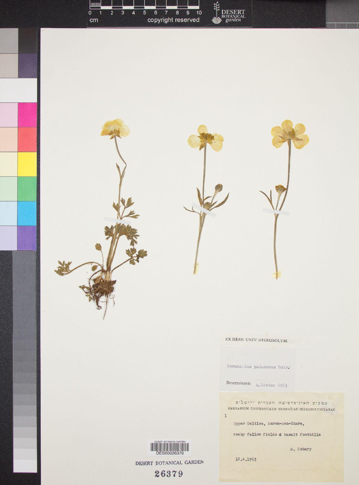Ranunculus paludosus image