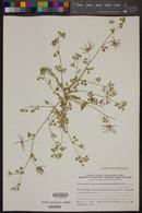 Image of Trigonella astroites