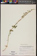 Image of Sisymbrium runcinatum