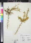 Image of Acacia conferta