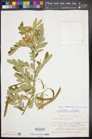 Image of Cassia mexicana