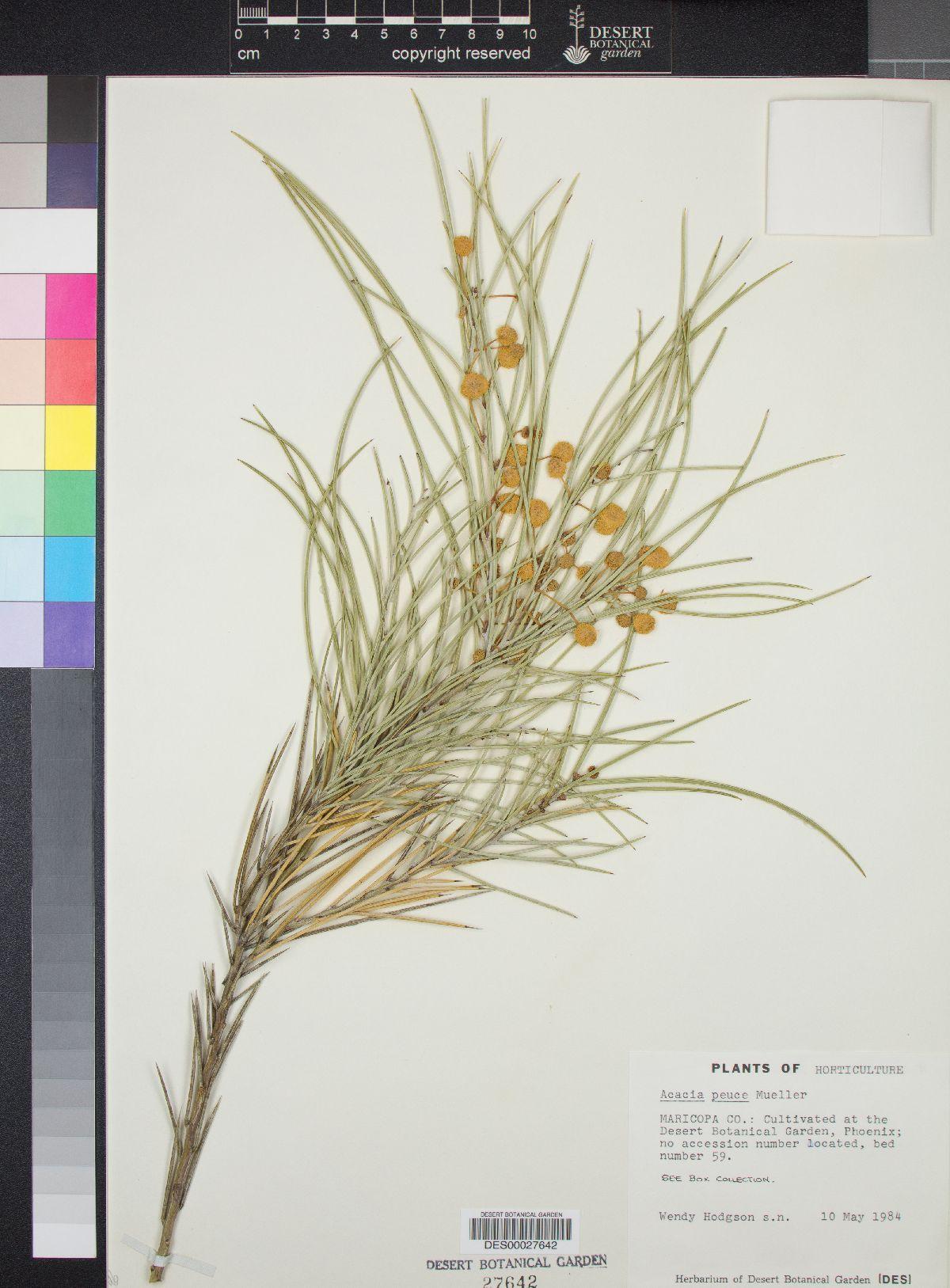 Acacia peuce image