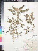 Amaranthus wrightii image