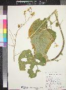 Abutilon mollicomum image