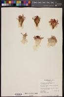 Echinocactus horizonthalonius var. horizonthalonius image