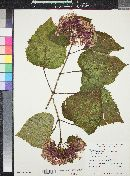 Image of Clerodendron bungei