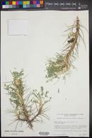 Image of Astragalus parrowianus