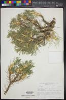 Image of Astragalus brachycentrus
