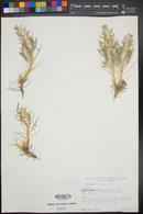Image of Astragalus gossypinus