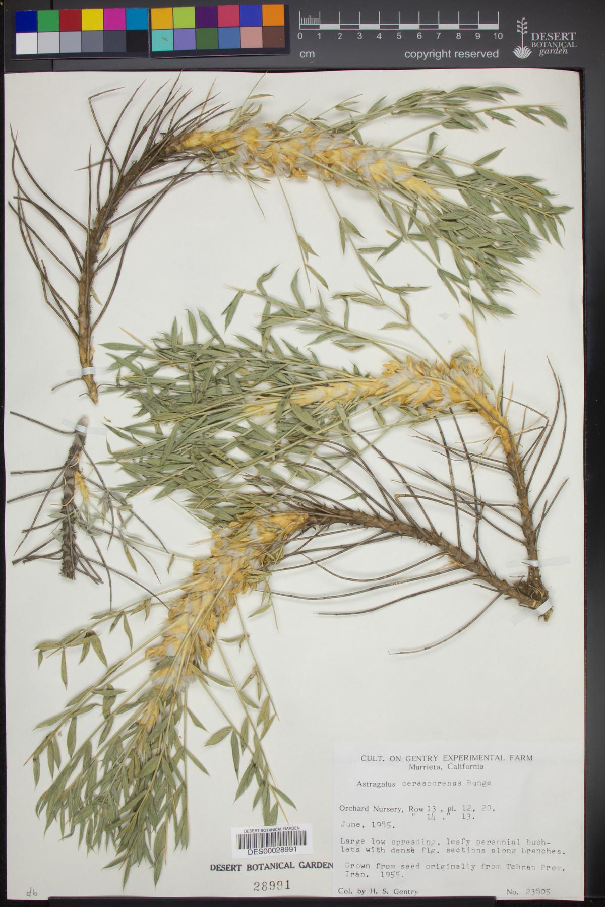 Astragalus cerasocrenus image