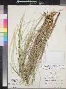 Trachypogon spicatus image