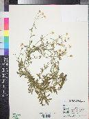 Erigeron oreophilus image
