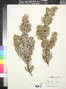 Pinus cembroides image