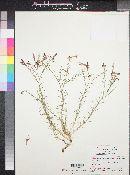 Ipomopsis tenuifolia image