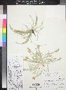 Cressa truxillensis image