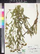 Helianthus laciniatus image