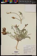 Astragalus eurylobus image