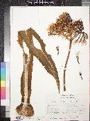 Agave gypsophila image